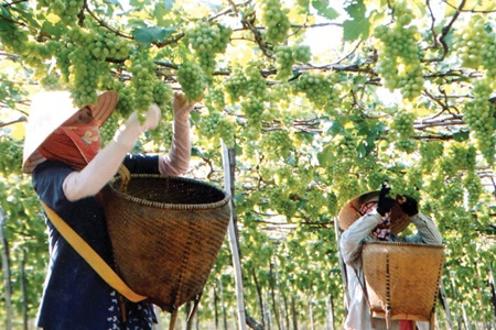 Grape growing contributes to sustainable development in Ninh Thuan