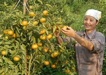 Dung Phong prioritizes orange growing to boost new rural development
