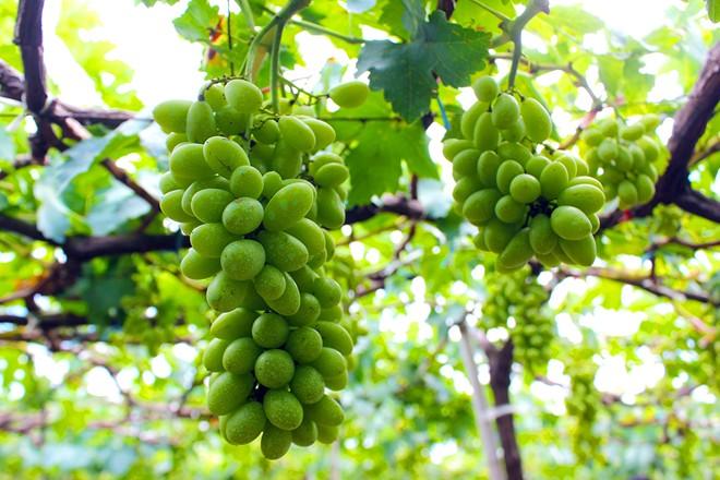 Ba Moi's vineyard in Ninh Thuan