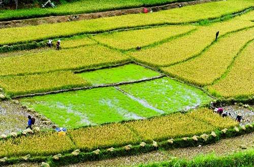 Rice terraces in Quang Nam in harvest