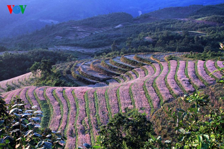 Ha Giang prepares for Buckwheat Flower Festival