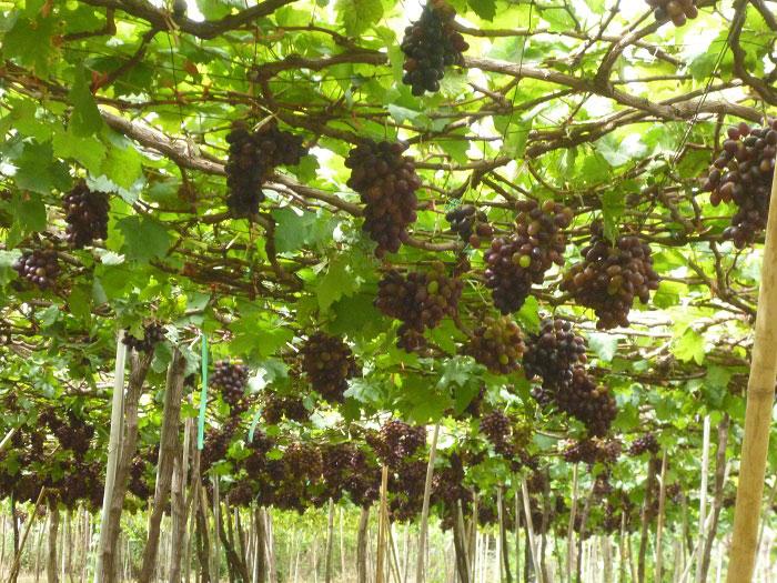 Ninh Thuan in grape-harvesting season