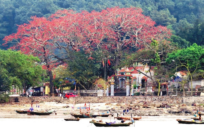 Red silk cotton trees in full bloom in Do Son
