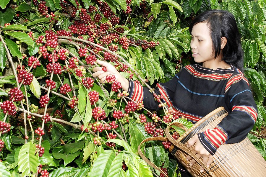 Ensuring sustainable growth of Vietnamese coffee