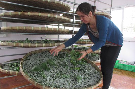 Mengunjungi desa Dai An untuk mencaritahu tentang kejuruan memelihara ulat sutera