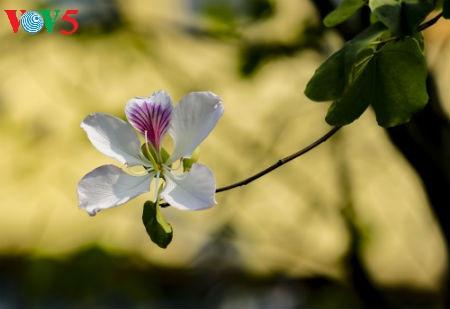 ディエンビエン省は「バンの花祭り」