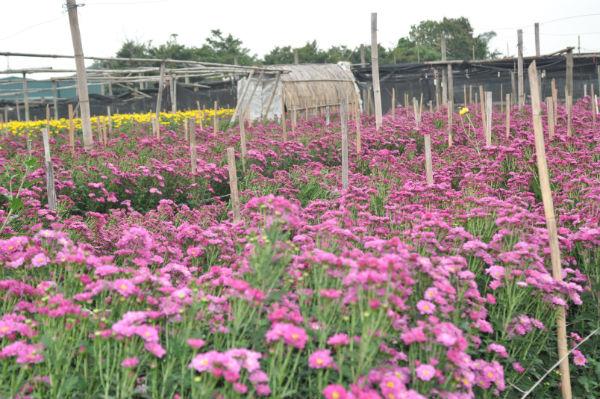 Desa bunga Tay Tuu memasuki musim semi