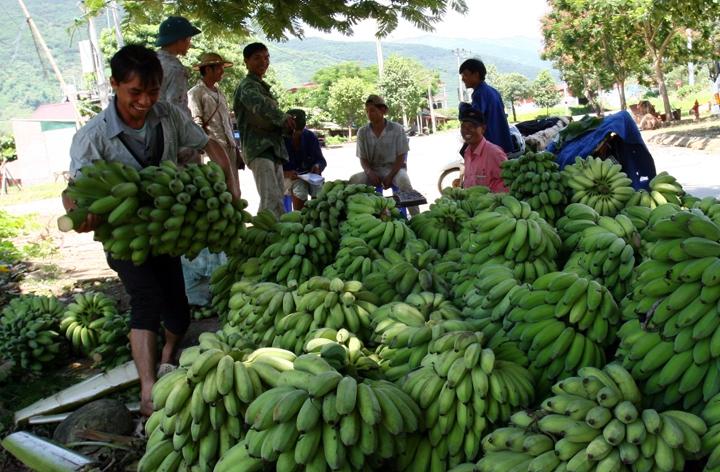 Banano, planta mágica en reducción de la pobreza para pobladores étnicos