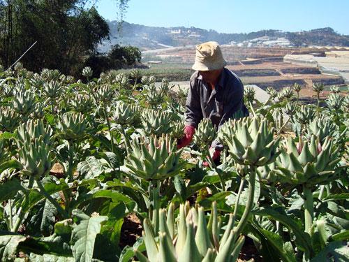 Para petani Sapa menjadi makmur karena menanam pohon obat-obatan