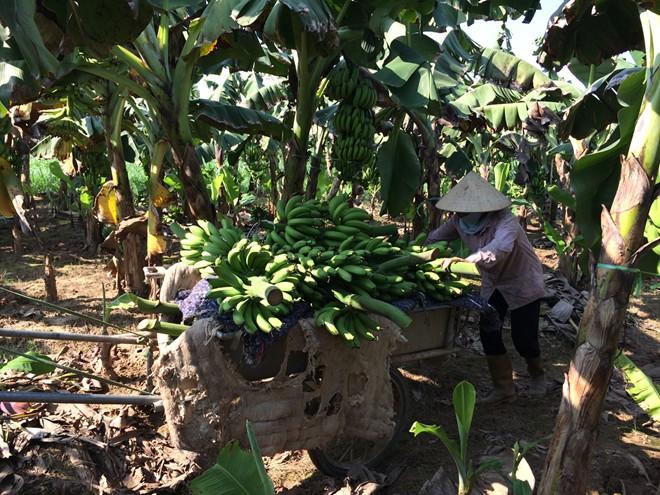 Kaum tani di kecamatan perbatasan Huoi Luong, propinsi Lai Chau menanami pohon pisang
