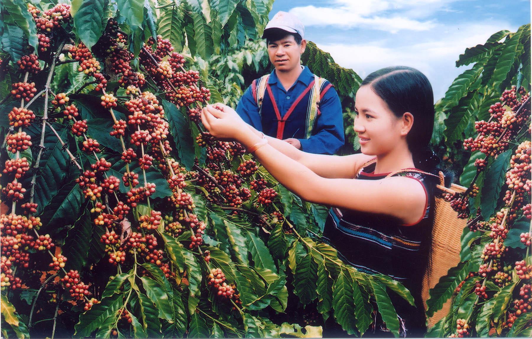 Mengembangkan daerah kopi yang berkesinambungan di propinsi Dak Lak