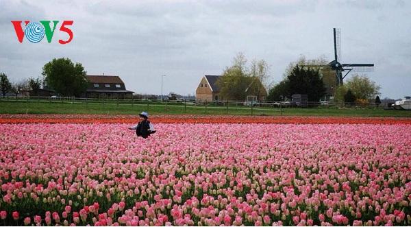 Đẹp ngỡ ngàng cánh đồng hoa tulip rực rỡ sắc màu ở Hà Lan