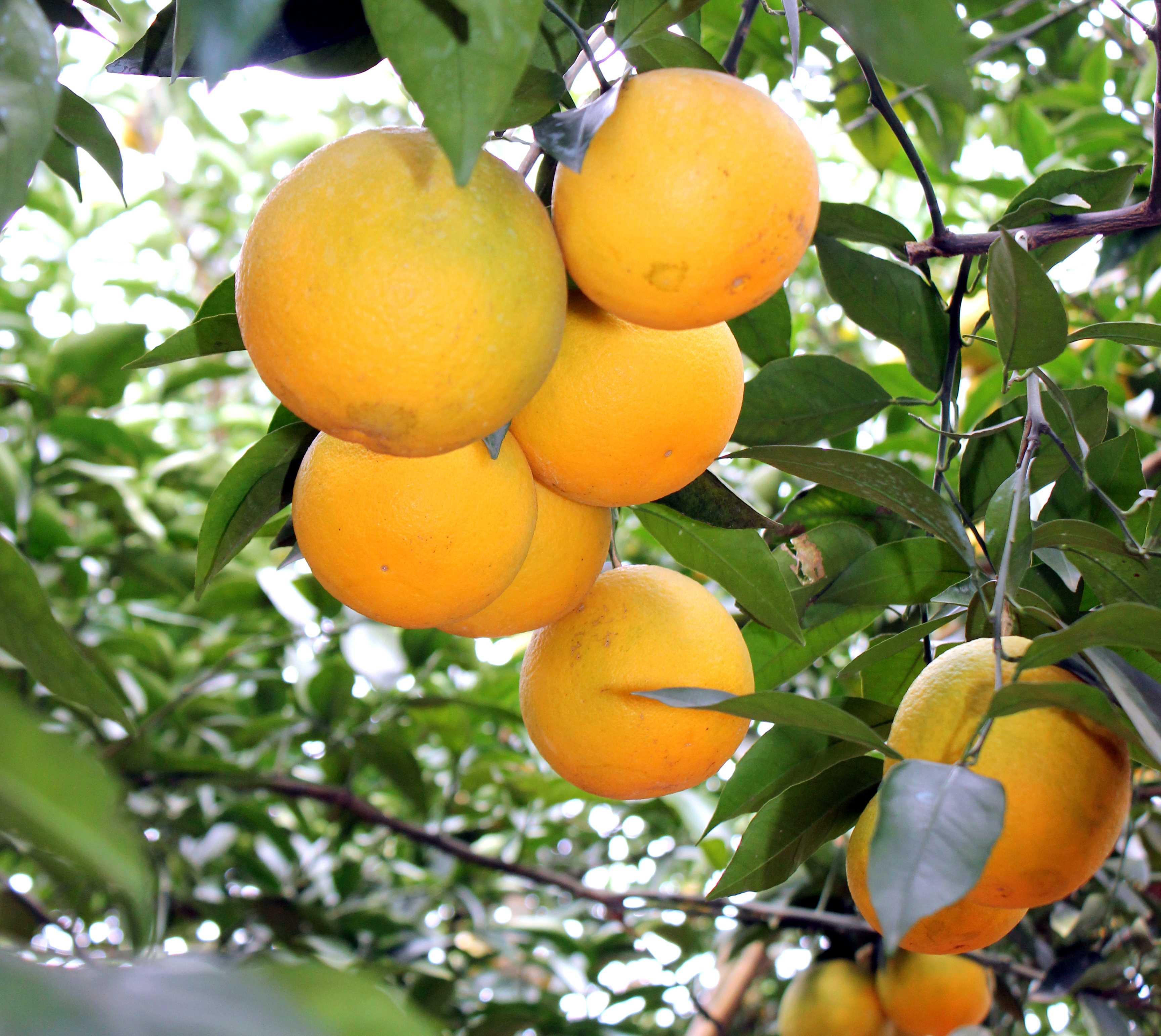 Sắc vàng mùa cam Lục Ngạn