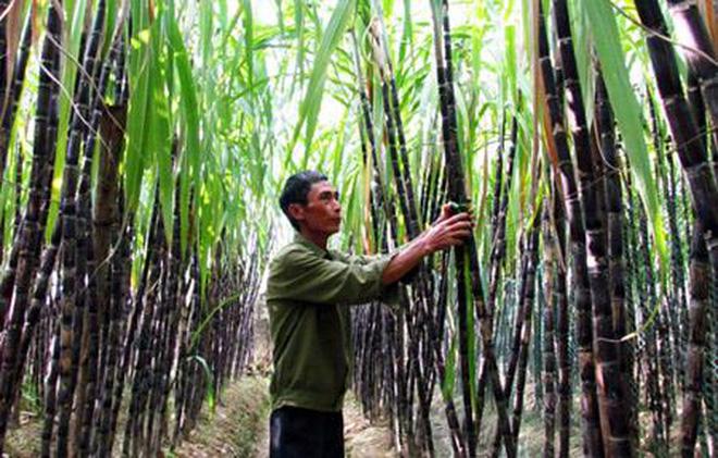 La canne à sucre au Vietnam