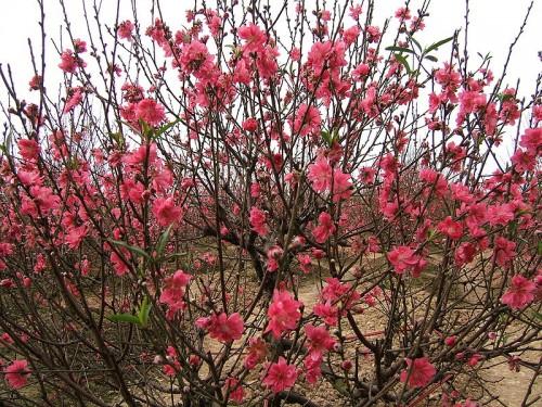 ดอกไม้ที่เป็นสัญลักษณ์ของเทศกาลตรุษเต๊ตตามประเพณีของคนเวียดนาม