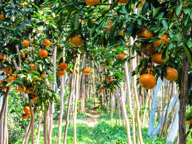 keindahan kebun jeruk keprok  lai vung, provinsi dong thap hinh 1