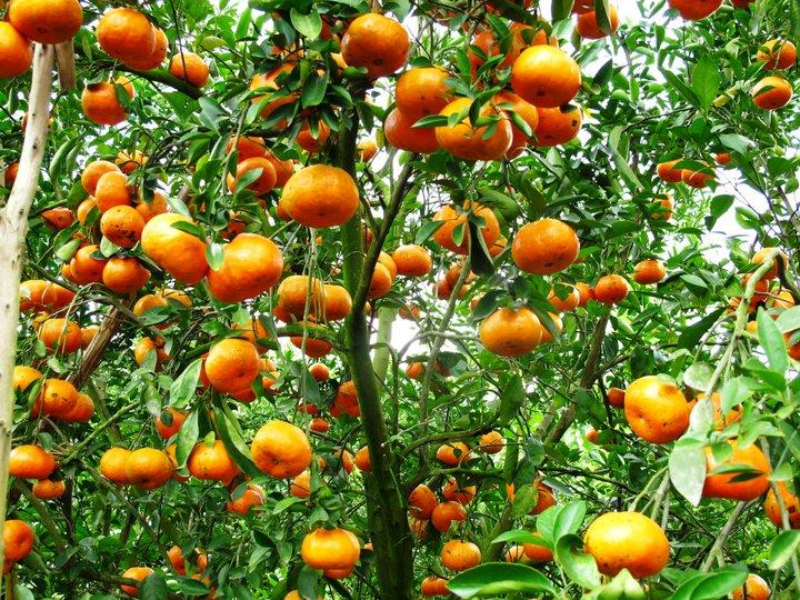 keindahan kebun jeruk keprok  lai vung, provinsi dong thap hinh 0