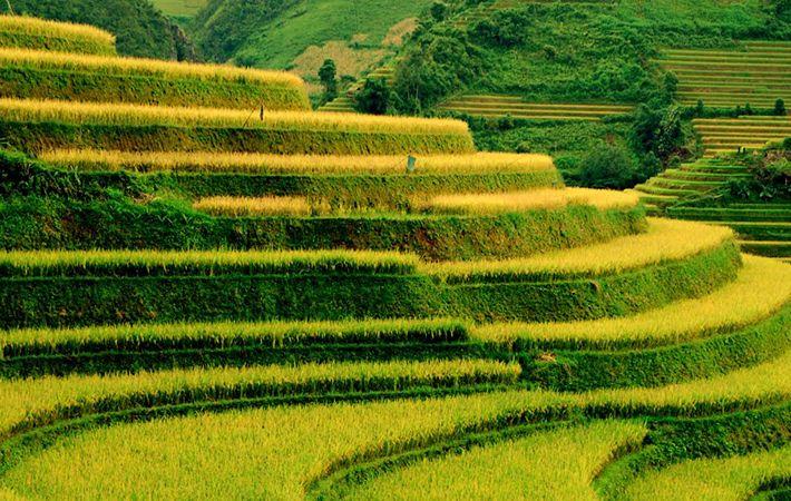 pesawahan terasering di kabupaten mu cang chai-keindahan  megah di daerah  pegunungan tay bac hinh 4