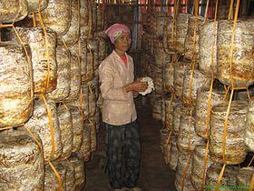 Mushroom growing – new production model in Kim Bang, Ha Nam province Village life