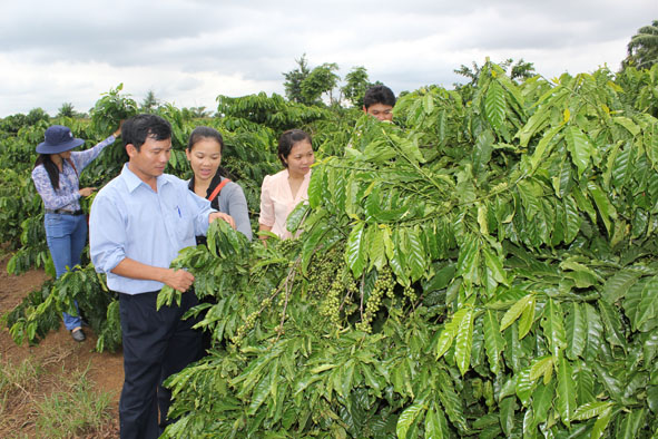 developing coffee zones in dak lak province  hinh 1