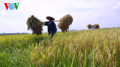 vietnam applies srp rice production standards to increase competitiveness hinh 1