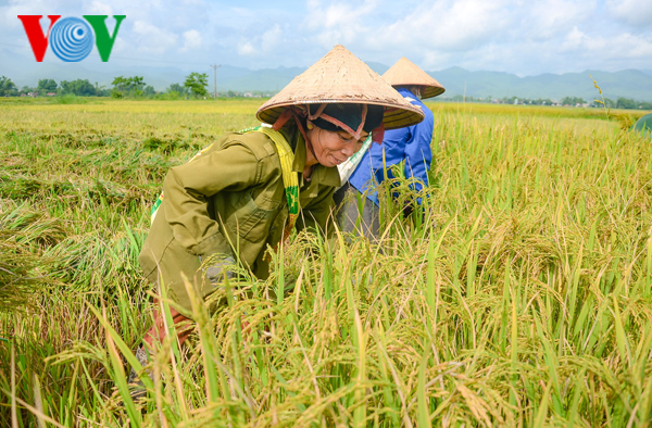 vietnam applies srp rice production standards to increase competitiveness hinh 2