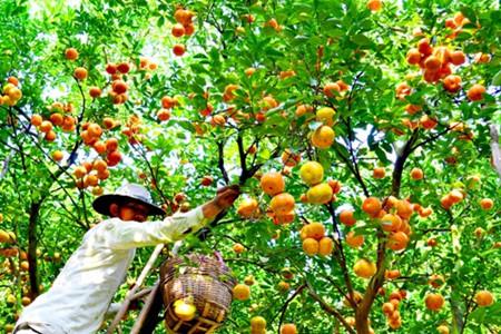 トンタッフ省のライフン蜜柑畑 hinh 1