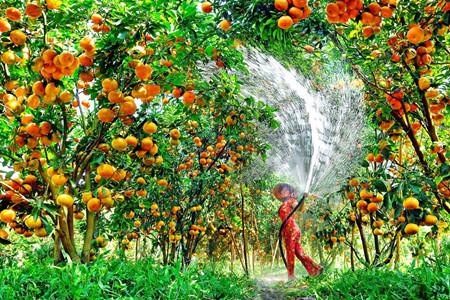 トンタッフ省のライフン蜜柑畑 hinh 0