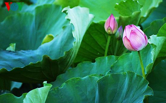 musim bunga teratai: saat-saat yang terindah hinh 8