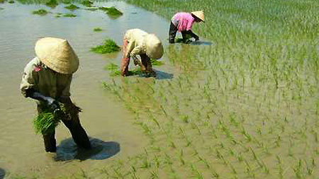 Wet rice cultivation of the Viet people Colorful Vietnam-Vietnam's 54 ethnic groups
