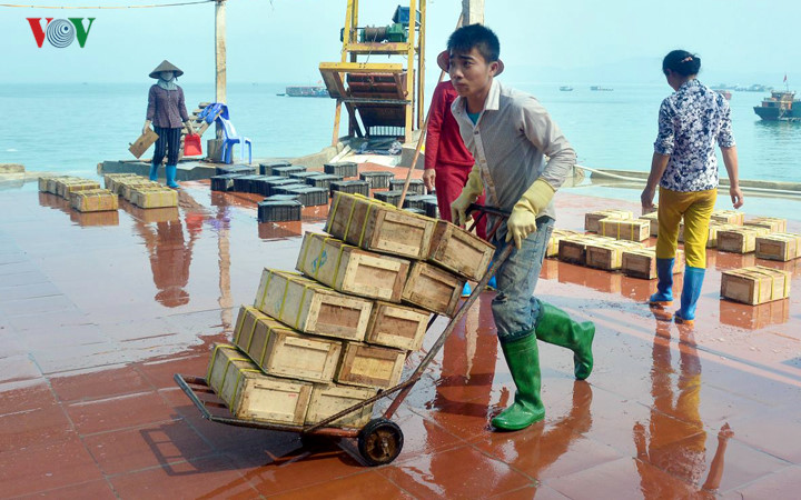 广宁姑苏的海蜇捕捞业 hinh 1