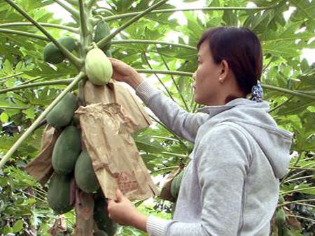 una visita a la cuna de frutas singulares para el tet vietnamita hinh 2