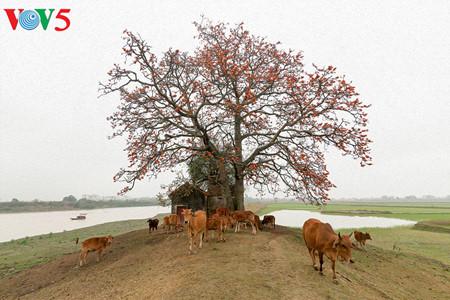 brilla el color rojo del algodonero en campo norteno de vietnam hinh 1