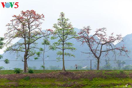 brilla el color rojo del algodonero en campo norteno de vietnam hinh 10