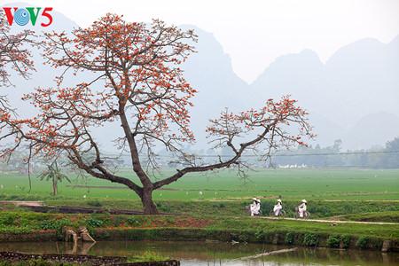 brilla el color rojo del algodonero en campo norteno de vietnam hinh 11