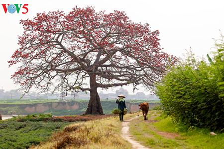 brilla el color rojo del algodonero en campo norteno de vietnam hinh 12