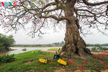 brilla el color rojo del algodonero en campo norteno de vietnam hinh 14