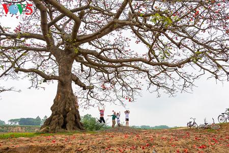 brilla el color rojo del algodonero en campo norteno de vietnam hinh 15