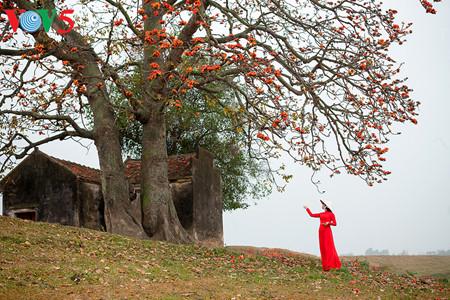 brilla el color rojo del algodonero en campo norteno de vietnam hinh 2