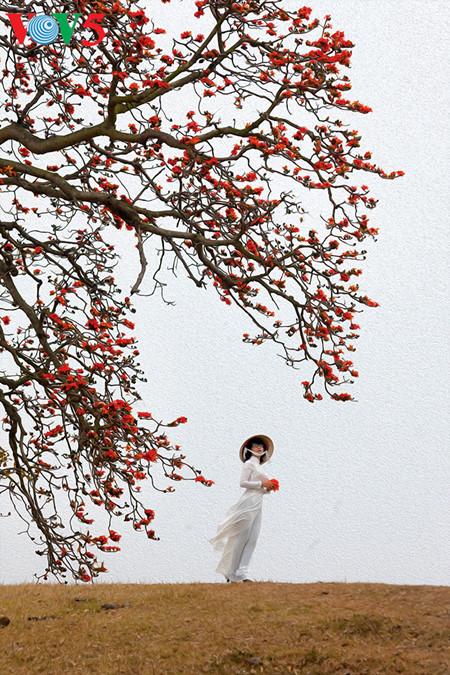 brilla el color rojo del algodonero en campo norteno de vietnam hinh 3