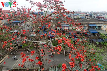 brilla el color rojo del algodonero en campo norteno de vietnam hinh 4