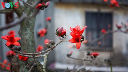 brilla el color rojo del algodonero en campo norteno de vietnam hinh 5