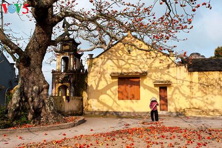 brilla el color rojo del algodonero en campo norteno de vietnam hinh 7