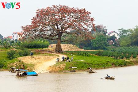brilla el color rojo del algodonero en campo norteno de vietnam hinh 0