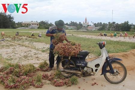 ly son, el reino vietnamita de la cebolla y el ajo hinh 2