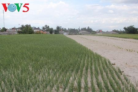 ly son, el reino vietnamita de la cebolla y el ajo hinh 0