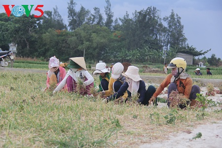 usaha pemanaman bawang merah dan bawang putih di kabupaten pulau ly son, provinsi quang ngai hinh 0