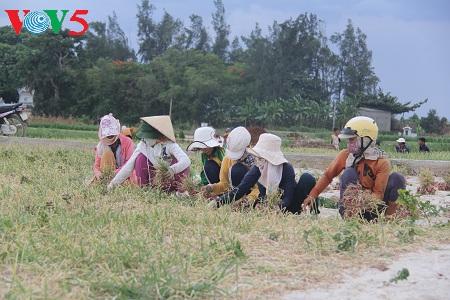 李山岛的蒜葱种植业 hinh 1