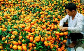 die schonheit der mandarin-garten lai vung in der provinz dong thap hinh 0