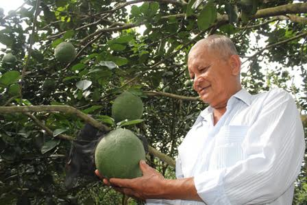Growing green-skin grapefruits helps build new rural areas in Ben Tre Village life